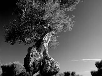 ulivi secolari chris giordanella